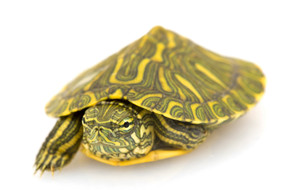 B Grade Baby Rio Grande Slider Turtles For Sale