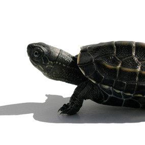 B Grade Juvenile Reeve's Turtles For Sale