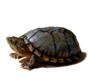B Grade Juvenile Razor Back Musk Turtle