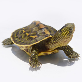 B Grade Juvenile Golden Thread Turtle