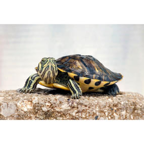 B Grade Juvenile Yellow Bellied Turtles For Sale
