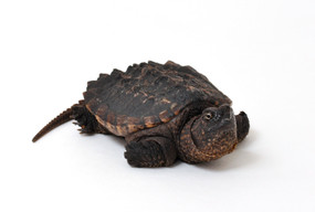 B Grade Juvenile Snapping Turtles For Sale