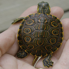 B Grade Juvenile Peacock Slider Turtles For Sale