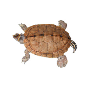 B Grade Juvenile Mississippi Map Turtles For Sale