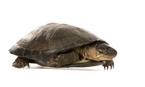 B Grade Large African Sideneck Turtle