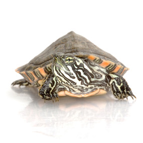 B Grade Large Gorzugi Turtles For Sale