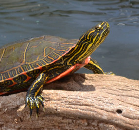 B Grade Large Western Painted Turtle