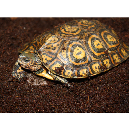 Baby Ornate Central American Wood Turtle