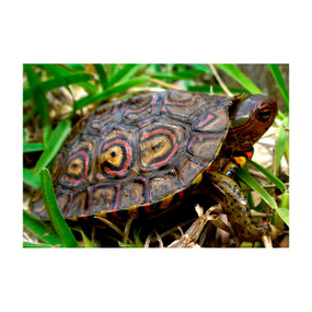 Juvenile Ornate Central American Wood Turtle