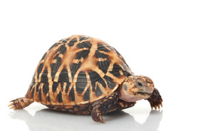 Baby Indian Star Tortoises For Sale