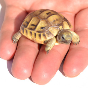 Baby Golden Greek Tortoise