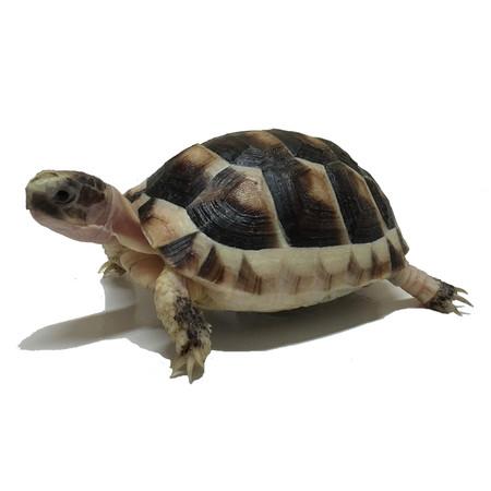 Buy Baby Marginated Tortoises Here