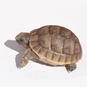 Baby Black Greek Tortoise