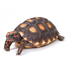 Baby Cherry Headed Tortoises For Sale