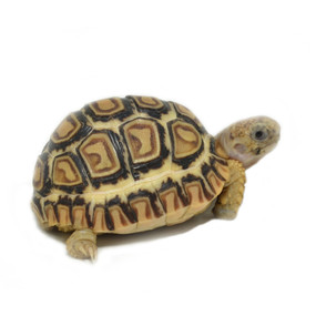 Baby Ivory Snow Leopard Tortoises For Sale