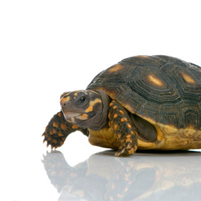 Juvenile Red Footed Tortoises For Sale