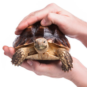 Juvenile Sulcata Tortoises For Sale