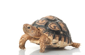 Juvenile Leopard Tortoises For Sale