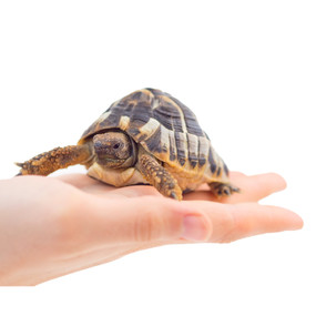 Juvenile Marginated Tortoises For Sale