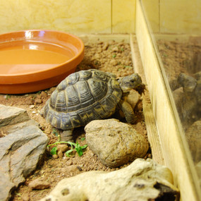Juvenile Greek Tortoise