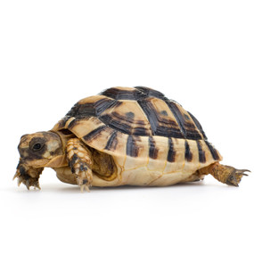 Juvenile Hermann's Tortoises For Sale