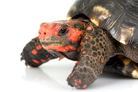 Juvenile Cherry Headed Tortoise