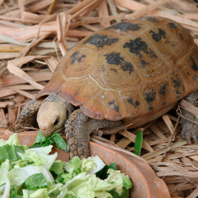 Adult Male Elongated Tortoises  For Sale