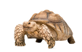 Adult Male Sulcata Tortoise