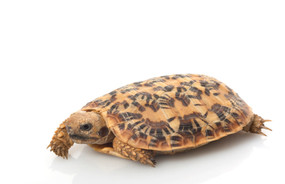 Juvenile Pancake Tortoises For Sale