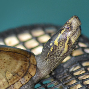 Large Common Mud Turtles For Sale