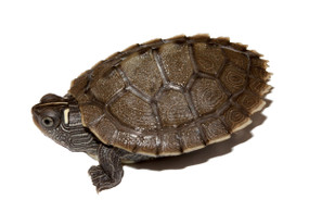 baby ouachita map turtle