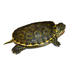 Baby Mexican Slider Turtle for sale