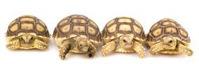 B Grade baby sulcata tortoises for sale.