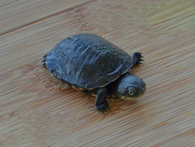 Baby African Side Neck Turtle