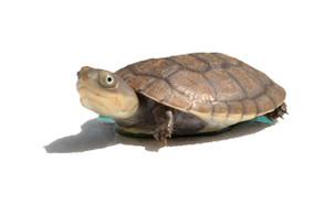 Baby African Helmeted Turtle