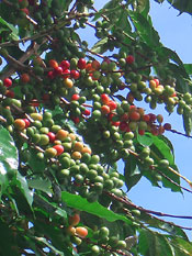 Bourbon Arabica berries
