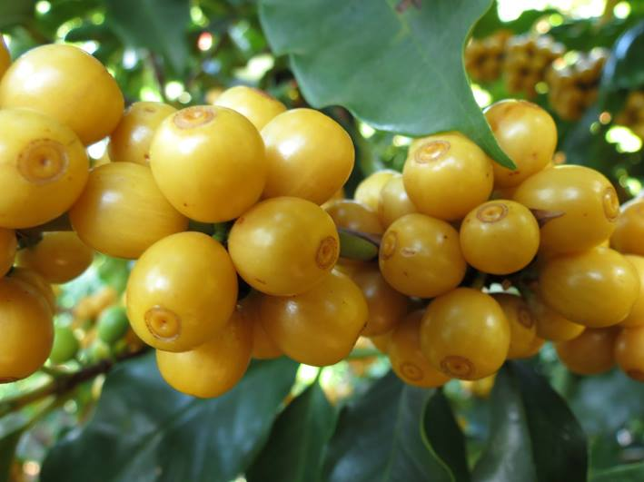 Bourbon Arabica cherries are not red but yellow, unlike most coffee cherries