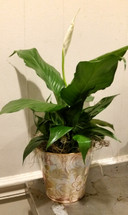 mini peace lily from The Bloom Closet Florist #thebloomcloset #floristinevans #augustaflorist