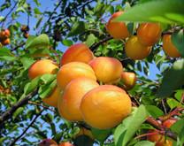 Tilton Apricot (dwarf)