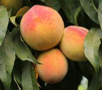 Fayette Peach