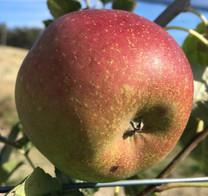 Tuft's (Tufts) Apple (dwarf)
