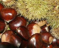Red Spanish Chestnut
