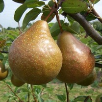 Durondeau Pear (medium)