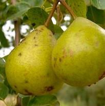 Moorcroft Perry Pear (medium)