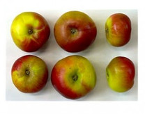 Chataingier Apple (dwarf)