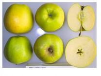 Mutsu Apple (dwarf)