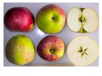 Peasgood's Nonsuch Apple (dwarf)