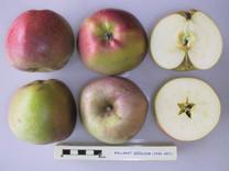 Stewarts Seedling (Ballarat Seedling) Apple (dwarf)