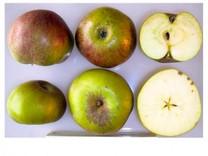 Striped Beefing Apple (dwarf)