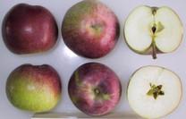 McIntosh Apple (dwarf)